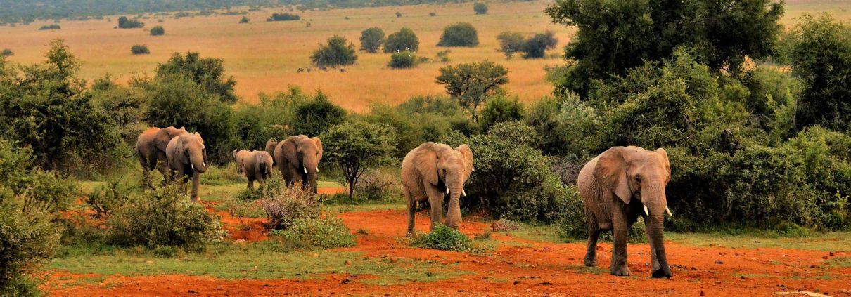 Passerende olifanten op safari