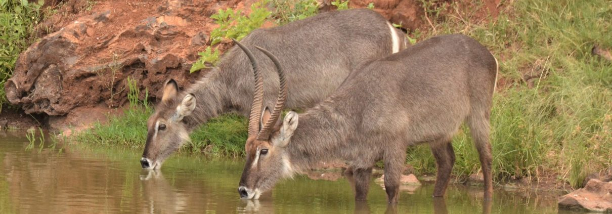 Drinkende Waterbokken op safari in Malawi