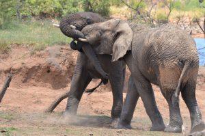 Vechtende olifanten