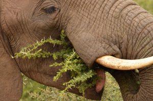 Etende olifant