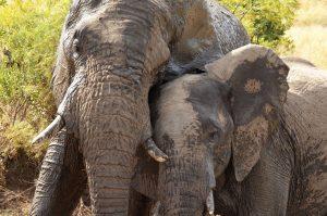 Knuffelende olifanten