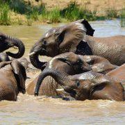 Olifanten in het water