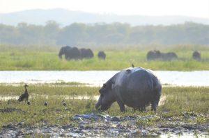 Nijlpaard en olifanten