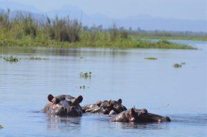 Nijlpaarden Malawi