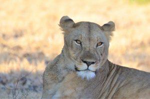 Leeuwin in Malawi