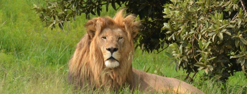 Een indrukwekkende leeuw