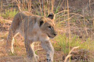 Een leeuwen welpje